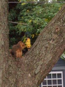 chubbysquirrel 006