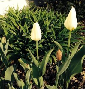 tulips0