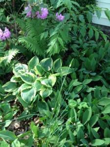 hostas galore, overload of lily-of-the-valley, more ferns...