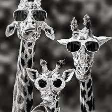 giraffeconfusion
