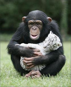 chimp-tiger
