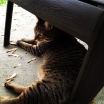 catticus maximus