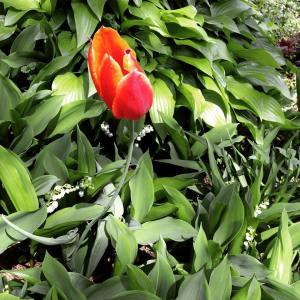 ooh, last of my red tulips, barely hangin on