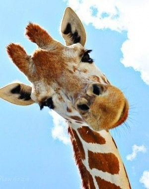 giraffetilt