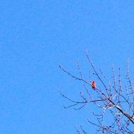 cardinal.1