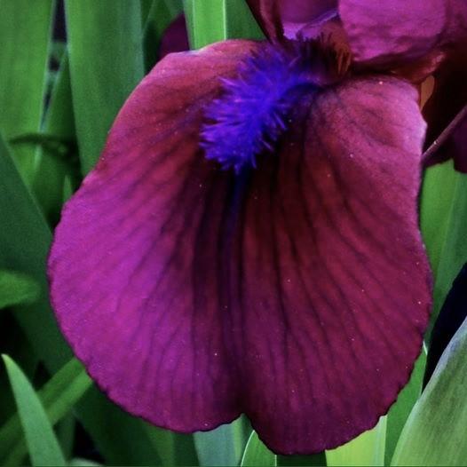 iris.beard.