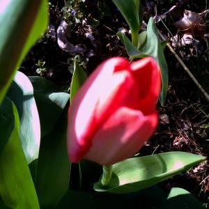 tulip.red