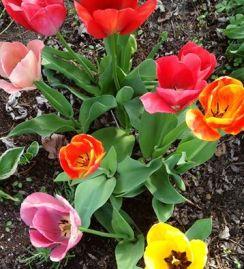 tulips8