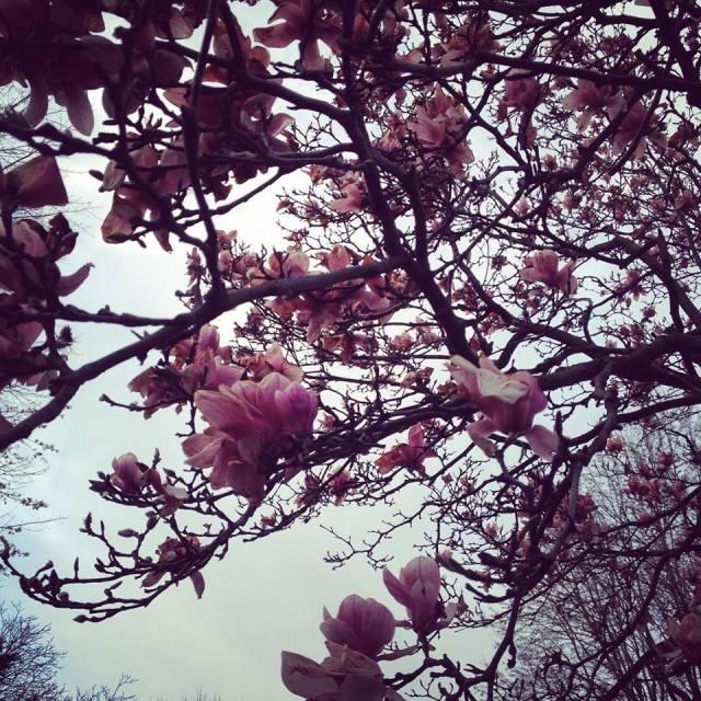 tuliptree.