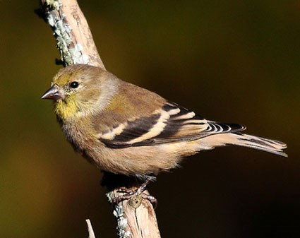 american_goldfinch_4