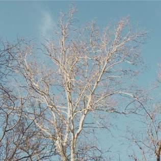 poplar_tree