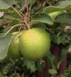 gonna have apples this year, fersure --both trees are fruiting