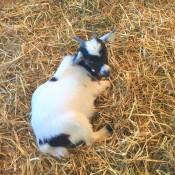 orb's goat